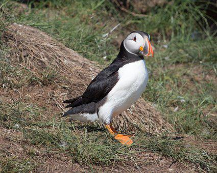 Puffin, Nest Hole, Nesting, North Sea, Sea, Bird