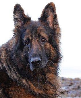 Dog, Schäfer Dog, Animal, Old German Shepherd Dog