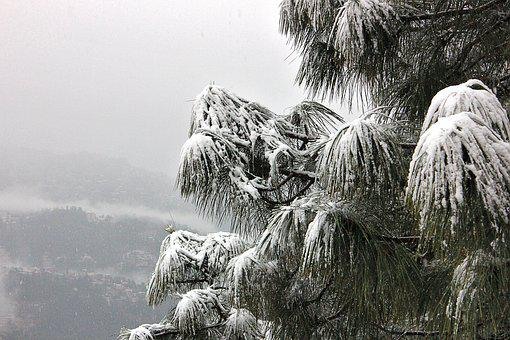 Snow, Tree, Shimla, Himachal, Pardesh, Dangerous
