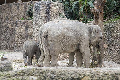 Zoo, Elephant, Cub, Parent