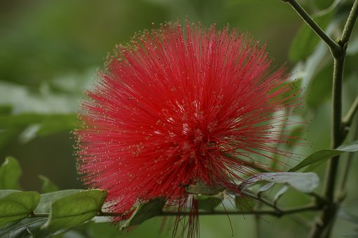 Pohutukawa, Blossom, Bloom, New Zealand Christmas Tree
