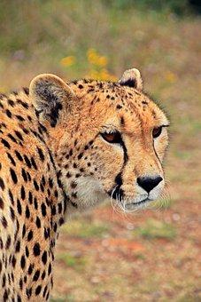 Cheetah, Cat, Predator, Animal, Animal Portrait, Africa