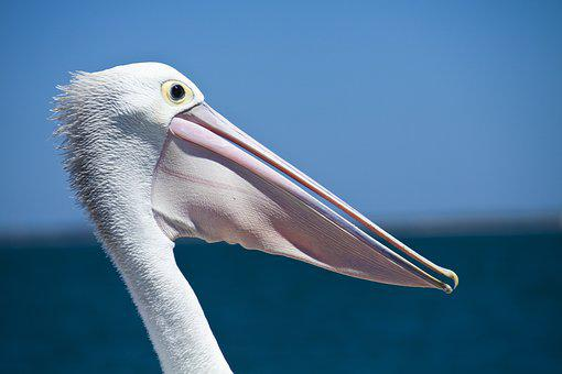 Pelican, Seabird, Coastal Birds, Wildlife, Nature, Sea