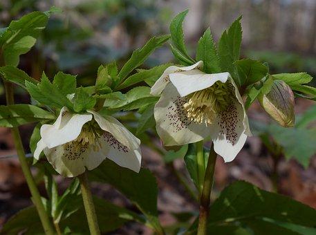 White Hellebore, Green Lenten Rose, Lenten Rose, Bud