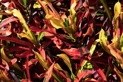 Croton, Shrub, Leaves, Red, Yellow, Green, Orange