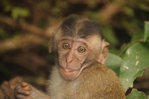 Monkey, Baby, Monkey Child, äffchen, Monkey Portrait