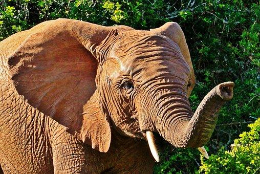 Elephant, Animal, Animal Portrait