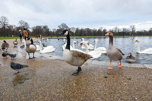 Duck, Parks, River, Animals, Tour, Outdoor