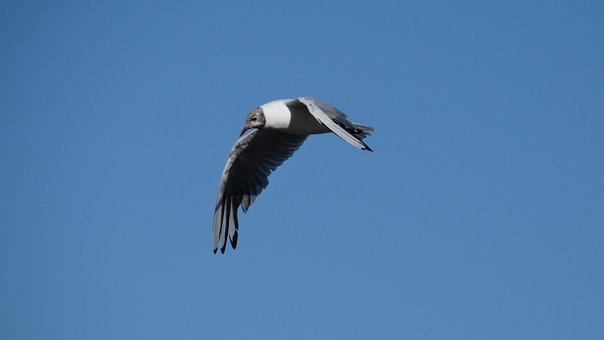 Nature, Bird In Flight, Common Tern