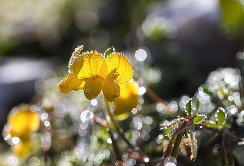 Black Medick, Yellow Wildflower, Meadow, Meadow Flower