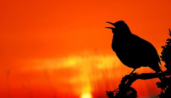 Bird, Sunrise, Silhouette, Tree, Blackbird, Apple