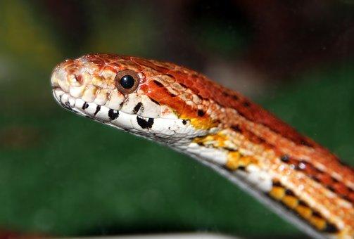 Corn Snake, Spotted Elaphe, Red Rat Snake