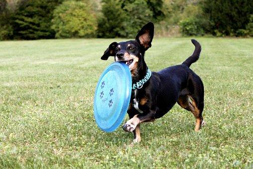 Dachshund, Frisbee, Dog, Running Dog, Pet, Meadow