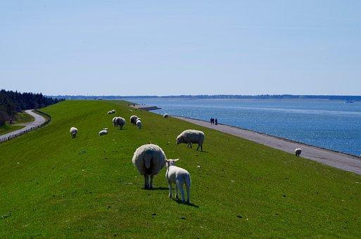Dike, North Sea, Sheep, Deichschaf, Dike Road, Sea