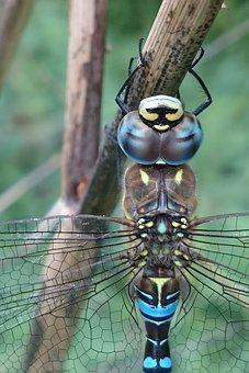 Migrant Hawker Dragonfly, Dragonfly, Insect, Wildlife