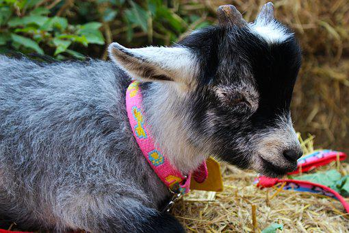 Goat, Animal, Farm, Nature, Livestock, Pet, Mammal