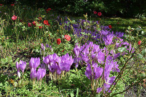 Herbstzeitlose, Flowers, Purple, Blossom, Bloom, Autumn