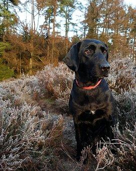 Dog, Labrador, Formel1, Black, Bitch, Forest, Heather