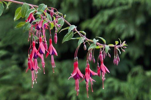 Fuchsia, Flower, Fuchsia Regia, Magenta, Branch