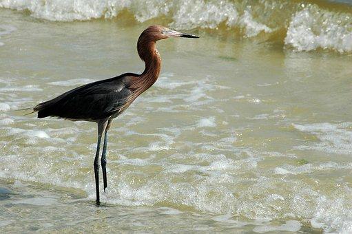 Red Egret, Bird, Wildlife, Egret, Nature, Water, Heron