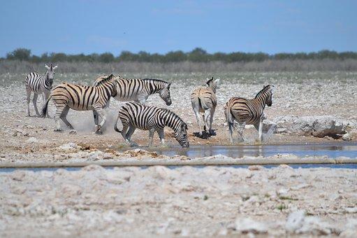 Many Zebras, Zebra In Motion, Movement, Watering Hole