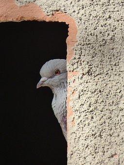 Paloma, Window, Lookout, Spy Hidden, Bird, Palomar