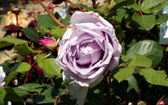 Rosa, Flower, Petals, Lilac Rose, Ornamental Plant