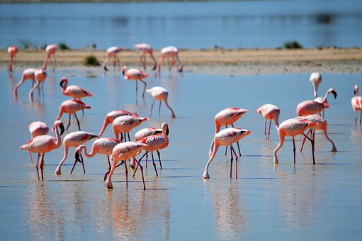 Flamingos, Flamingos In The Nature, Pink, Water, Drink