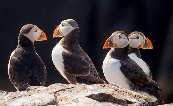 Puffins, Seabird, Colony, Bird, Nature, North Sea