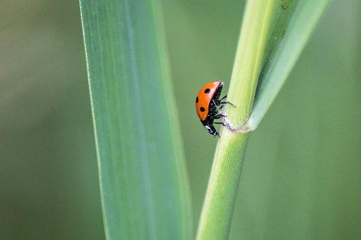 Ladybird, Ladybug, Insect, Beetle, Bug, Red, Spring