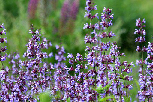 Sage, Purple Flowers, Summer Flowers, Summer