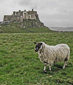 Lindisfarne, Lindisfarne Castle, Castle, Sheep