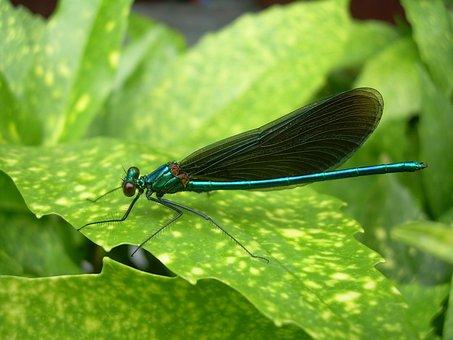 Dragonfly, Sheet, Summer