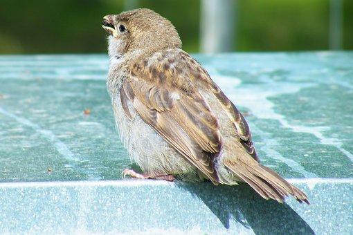 Bird, Sperling, Sparrow, House Sparrow, Songbird