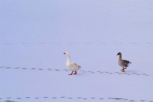 Geese, Snow, Ice, Bird, White, Animal, Winter, Water