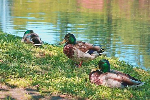 Ducks, Wild Ducks, Wild Birds, Pond, Water Bird