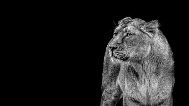Lioness, Lion, Wild, Predator, Cat, Wildcat
