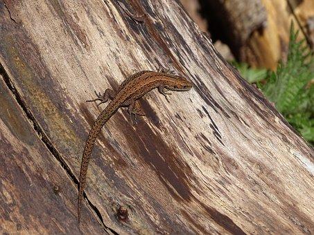 Common Lizard, Lizard, Reptile, Wildlife, Fauna