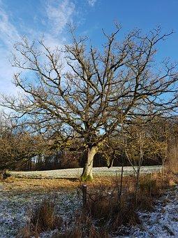 Oak, Wood, Oak Tree, Winter, Denmark, Forest, Natural