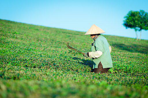 The Hill Tea, People, Labor, Work, Green, Mountain