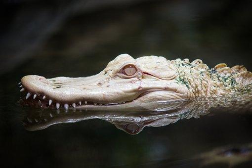 Albino, Alligator, Zoo, Reptile, White, Animal, Nature