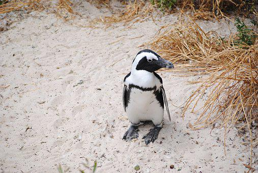 Penguin, Africa, South Africa, Cape Town, Bolders Beach