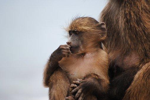 Baby Monkey, Monkey, Cape Town, Africa