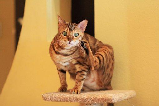 Card, Bengal Cat, Bengali, Cat, Breed, Pet, Animal