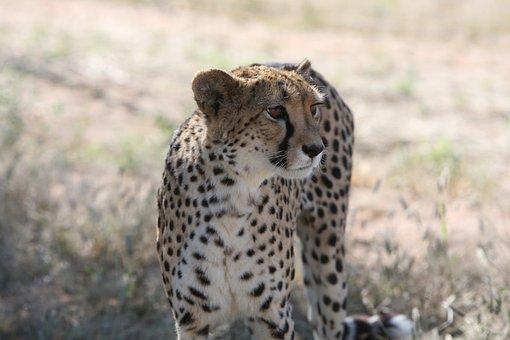 Cheetah, Namibia, Safari, Wild, Hunter, Predator