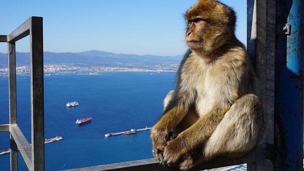 Monkey, Gibraltar, Rock, Focus, England