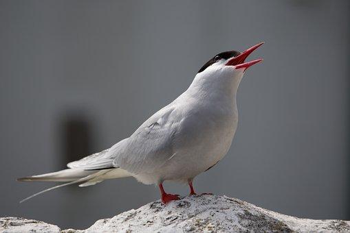 Arctic Tern, Bird, Tern, Arctic, Farne, Farne Islands