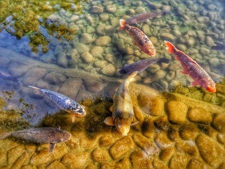 Carps, Koi, Pond, Water, Fish, Group, Japan, Japanese