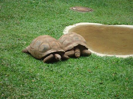 Turtle, Nature, Green, Hull, Animal, Reptile, Slow
