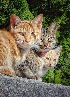 Cat, Group, Three, Stare, Watching, Staring, Watch